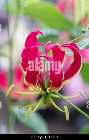 'Gloriosa superba Rothschildiana'. Gloire lily. Lily la flamme. Gloriosa lily Photo Stock