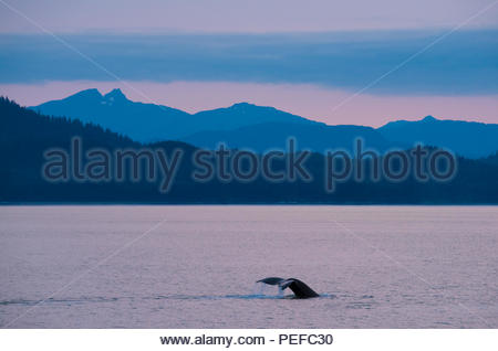 Baleine à bosse en passage Stephens. Photo Stock