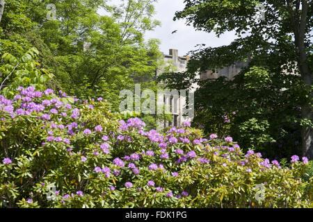 Rhododendrons de plus en face de la salle qu'à The Green Lawns, Newcastle upon Tyne. Photo Stock