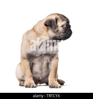Le PUG Puppy sitting against white background Photo Stock