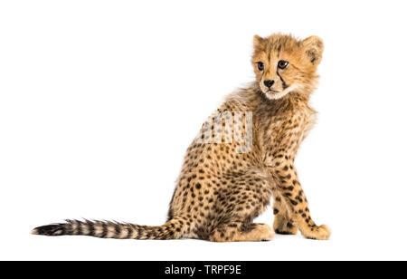 Vue arrière d'un 3 mois cheetah cub assis, isolated on white Photo Stock