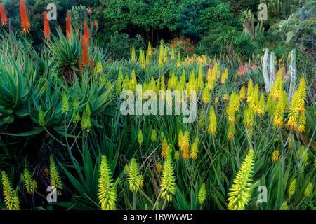 Fleurs de l'Aloe Vera.Kiahuna Plantation Gardens. Poipu, Kauai, Hawaï. Photo Stock