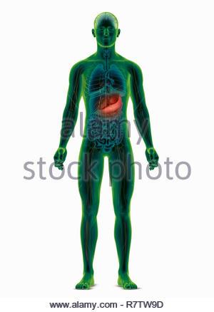 Recherche biomédicale par ordinateur illustration du corps humain mettant en relief l'estomac Photo Stock