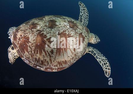 Tortue de mer verte, Sipdan island Malaisie (Chelonia mydas) Photo Stock