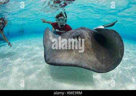 Snorkeler interagit avec le sud de stingray au banc, grand cayman Photo Stock