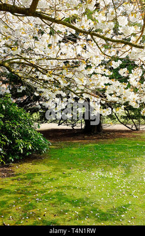 Japanese cherry blossom fleurs blanches au jardin, Norfolk, Angleterre Photo Stock