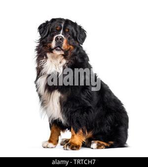 Bernese Mountain dog sitting against white background Photo Stock