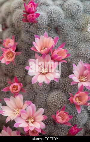 Rebutia 'Celebration' syn. Aylostera 'Celebration'. Rebutia 'Celebration' Cactus en fleur Photo Stock
