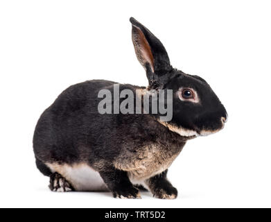 Lapin Rex assis contre fond blanc Photo Stock