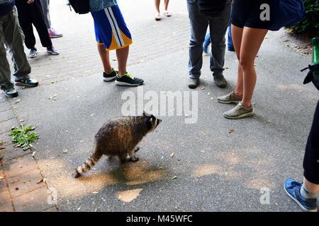 Le Raton laveur s'exécute à l'égard des touristes, le parc Stanley, Vancouver, Canada. Photo Stock