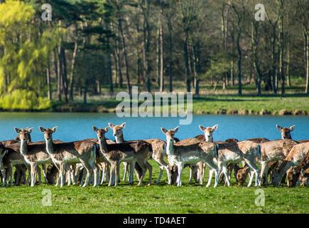 Près du lac de jachère à Holkham Park, près de la côte nord du comté de Norfolk, Norfolk, East Anglia, Angleterre, Royaume-Uni, Europe Photo Stock