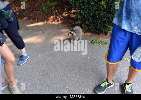 Amuse Racoon les touristes, le parc Stanley, Vancouver, Canada. Photo Stock