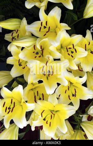 Lily fleur jaune espèce variété jardin frontière chef bud bunch England UK Royaume-Uni GB Grande-bretagne EU Photo Stock