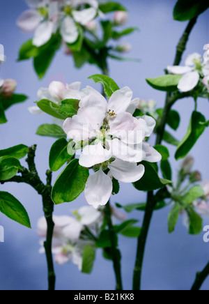 Studio shot of blossom sur un fond bleu Photo Stock