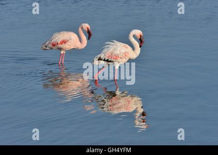 Zoologie / animaux, Oiseaux (Aves), Flamant nain (Phoenicopterus Minor) sur le lac Nakuru, le Parc National de Nakuru, Photo Stock