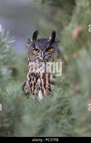 Grand Owl (Bubo bubo) adulte, perché sur la branche de pin, Suffolk, Angleterre, octobre, l'objet contrôlé Photo Stock