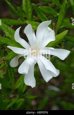 Magnolia stelata arbuste arbre woody bois étoile blanche fleur de ressort fleur pétale de fleur fleur Photo Stock
