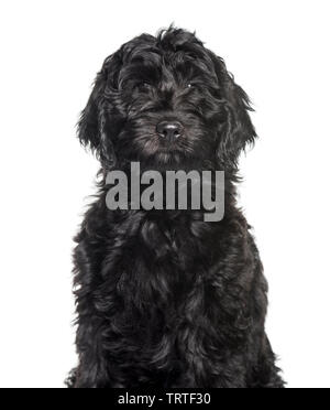 Race mixte labradoodle looking at camera against white background Photo Stock