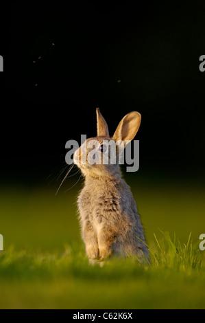 Lapin Oryctolagus cuniculus Portrait d'un jeune lapin ou chaton assis bien droit avec des moucherons volant Photo Stock