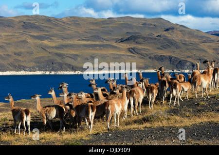 Petit troupeau de guanacos (Lama guanicoe) dans le Parc National des Torres del Paine.Patagonie.Chili Photo Stock