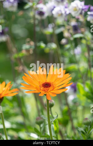 Calendula officinalis. Fleurs de souci Photo Stock