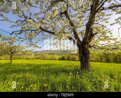 Cerisier en fleurs, Jura, d'Argovie, Suisse Park Photo Stock