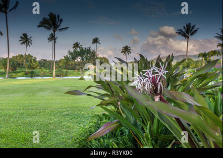 Crinum Lily, Baie d'Hanalei, Kauai, Hawaii, Kauikeolani Estate, palmiers, pelouse et étang Photo Stock