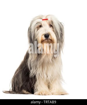 Bearded Collie sitting in front of white background Photo Stock