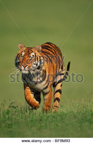 Mâle tigre du Bengale, Panthera tigris tigris exécutant, originaire de l'Inde Photo Stock