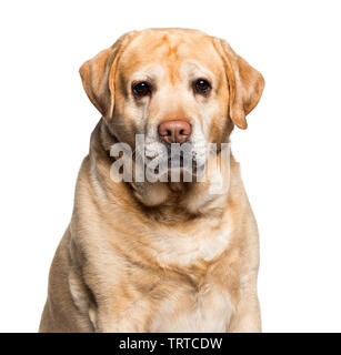 Labrador looking at camera against white background Photo Stock