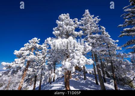 Le givre blanc sur les pins dans les montagnes de San Bernardino, forêt nationale de San Bernardino, California USA Photo Stock