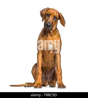 Le Rhodesian Ridgeback, âgé de 5 mois, in front of white background Photo Stock