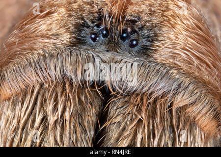 """Gros plan du visage d'un Aphonopelma Chalcodes ou l'ouest du désert de l'Arizona, tarentule Tarentule blonde blonde mexicaine ou Tarantula (environ 5"""" à l'échelle) Photo Stock"""