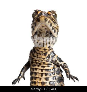 Crocodile nain Osteolaemus tetraspis, également connu sous le nom de Crocodile nain d'Afrique, large-snouted crocodile, crocodile ou osseuse looking at camera contre whit Photo Stock