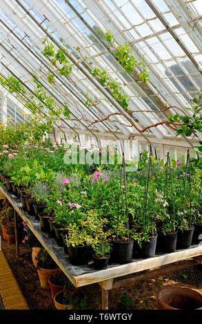Les plantes en pot dans la grande serre, North Norfolk, Angleterre Photo Stock
