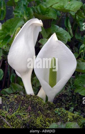 Aram Arum lily jardin de fleurs feuillage crème blanc lys de fleurs sauvages nil araceae spathe tourbière humide étang humide humide close up Photo Stock