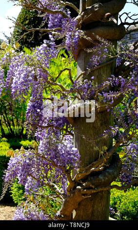 La floraison des fleurs de glycine enroulée autour d'après le bois, Houghton Hall, Norfolk, Angleterre Photo Stock