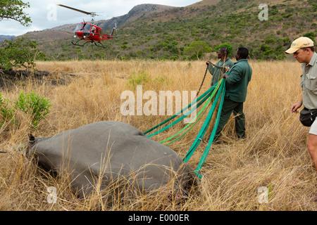Le Rhinocéros noir (Diceros bicornis) en préparation pour le transport aérien par hélicoptère.Ithala game reserve.Afrique du Sud Photo Stock