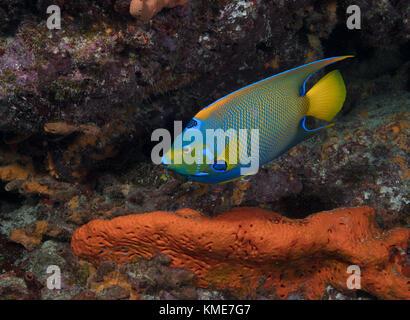 Lit queen angelfish (holacanthus ciliaris) Photo Stock