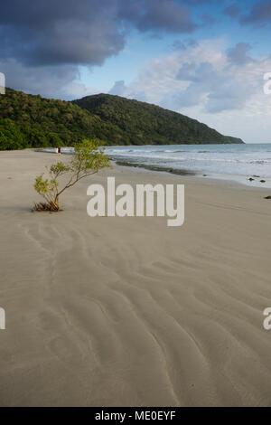 Palétuvier poussant dans le sable avec couple en train de marcher sur la plage dans la distance à Cape Tribulation dans le Queensland, Australie Photo Stock