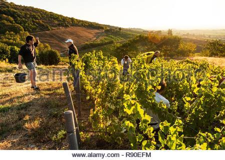 France, Rhône, Beaujolais, Le Perreon, récolte du Domaine Longere, localité Les Roches Photo Stock
