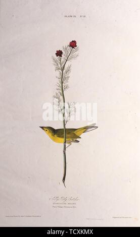 """Selby's Fly Catcher. À partir de """"Les Oiseaux d'Amérique"""", 1827-1838. Collection privée. Photo Stock"""