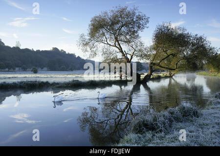 Une scène d'hiver glacial aux cygnes glisse sur l'eau à la rivière Wey Navigations, Surrey. Photo Stock