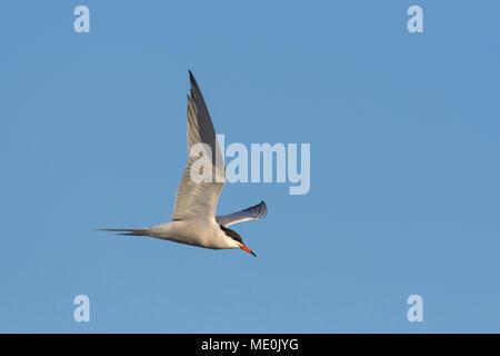 Vue latérale d'une sterne pierregarin (Sterna hirundo) en vol contre un ciel bleu sur le lac Neusiedl en Burgenland, Autriche Photo Stock