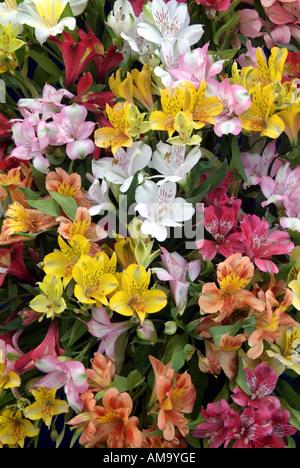 L'alstroemeria péruvienne Virginia lily bloom tête pétale plante pot pastel ampoule tropicales exotiques cultivées en serre chaude serre Photo Stock