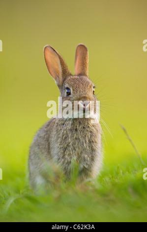 Lapin Oryctolagus cuniculus dans les derniers rayons de lumière du soir un jeune lapin est assis près Photo Stock