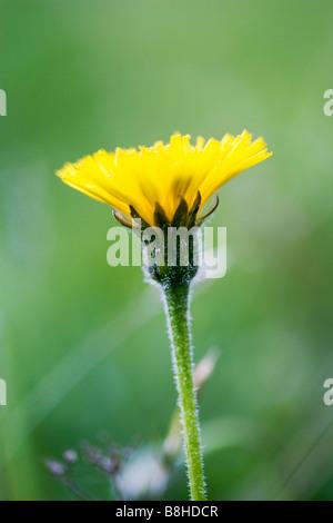 Pissenlit fleur de près. Nom latin:Taraxacum officinale Photo Stock
