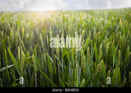 Close up shot of barley field Photo Stock