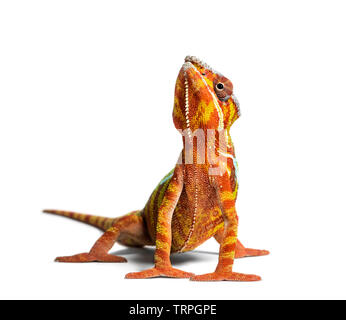Caméléon panthère, Furcifer pardalis looking at camera against white background Photo Stock