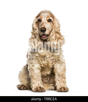 Cocker Anglais in front of white background Photo Stock